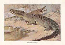 c1914 NATURAL HISTORY PRINT ~ NILE CROCODILE ~ LYDEKKER