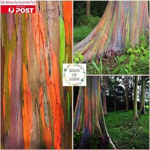 100 RAINBOW EUCALYPTUS SEEDS (Eucalyptus deglupta); Ornamental