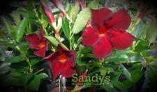 Mandevilla Garden Crimson Sun Parasol® Lot of 2 ~ Starter Plants~