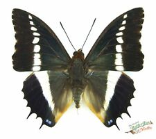 Charaxes brutus white barred - emperor real butterfly SET x1  Entomology artwork