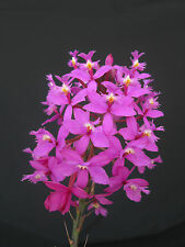 Purple Crucifix/Epidendrum Orchid.