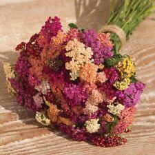 50+ Achillea Colorado Mix Flower Seeds / Perennial