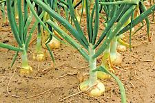 401+VIDALIA SWEET ONION Seeds Organic Non-Gmo 110/170 Days Spring/Fall Garden