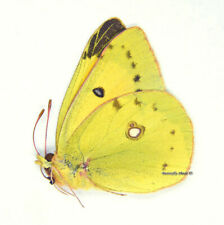 Unmounted Butterfly/Pieridae - Colias chrysotheme, male, Hungary