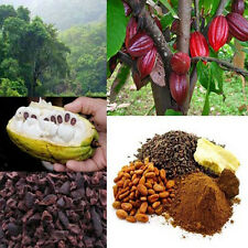 Cocoa fruit seeds- chocolate Tree 5 Finest seeds Very Rare