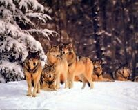 Timber Wolves in Snow Wild Animal Wall Decor Art Print Picture (8x10)