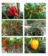 Chilli Pepper Seeds - Hot Mix
