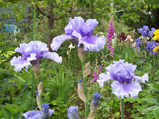 Sub-tropical Evergreen Bulbs, Corms, Roots & Rhizomes