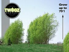 13 Austrees hybrid willow rooted and ready 2 Plant! Salix growing cutting fence