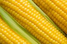 Corn Honey and Cream Hybrid *** Sweet *** Treated Seeds Non GMO Seeds 100 Seeds