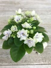 African Violet * Thunder S 00004000 urprise *( Sm) plant in bloom