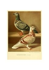 Pigeons Illustration German Birds Lithograph Print by Gustav Prutz 1884 Dove