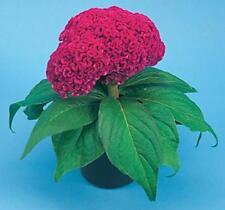 Celosia Amigo Series Neon Rose Annual Seeds