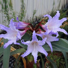 2Pcs Purple Amaryllis Bulbs Beautiful Bonsai Flowers Home Garden Decor Bulbs HOT