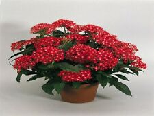 25 Pelleted Seeds Pentas New Look Red Pentas Seeds (Star Flower)