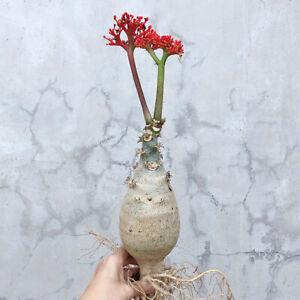 Jatropha podagrica Hook. Euphorbiaceae Root tuber plants Garden Bonsai