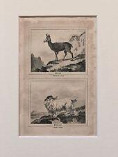 Buffon Antiguo montado impresión c.1800 - grabado-Ram cabra agamuzada