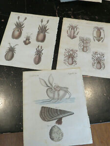 Octopus  -  Bertuch , Natural History Engravings, Germany ca: 1798, 3 plates
