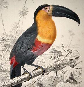 Edouard Travies [1809-1876] - Toucan - fine original hand colour