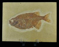 RARE PHAREODUS ENCAUSTUS FOSSIL FISH GREEN RIVER FORMATION WY 6.6 IN FREE STAND