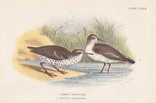Flussuferläufer Actitis hypoleucos Drosseluferläufer LITHOGRAPHIE 1896 SANDPIPER