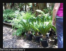 FAON - Cycad sago palm, Cycas revoluta 25cm pot  specimen.