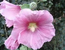 Alcea rosea 35 Seeds  Light Pink Common Hollyhocks Ornamental Flower Edible