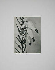 "Original Karl Blossfeldt ""Erica herbacea"", Plate #110 (1928); Urformen der Kunst"