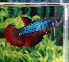 Thai Import Fancy Female HM Halfmoon Betta Live Fish *READ ITEM DESCRIPTION