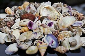 50 + Beach Mixed  SeaShells 100g Mix Shells Craft SeaShells