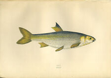 Beautiful HAND-COLOURED print of the fish  DACE  by Jonathan Couch