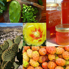 Prickly Pear-Opuntia Macrorhiza-Opuntia ficus-indica 10 Finest Seeds