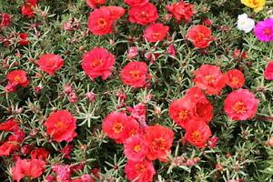 100 RED PORTULACA Grandiflora / MOSS ROSE Flower Seeds *Flat S/H