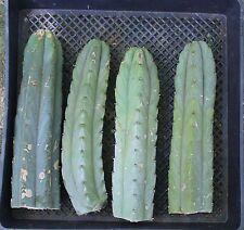 """1 BRIDGESII Trichocereus Achuma Cactus 12"""" Cuttings San Pedro Cousin"""