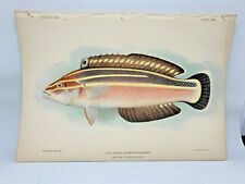 Antique Lithographic Print Reef Fishes Hawaiian Islands Bien 1903 Plate 29