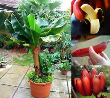 DWARF Beautiful and Delicious RED Banana small tree Musa 'Dwarf Red' SEEDS