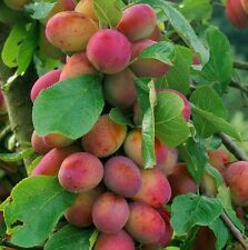 1X 4-5FT LARGE VICTORIA PLUM FRUIT TREE - JUICY & SELF FERTILE BEST PLUM TREE 5L