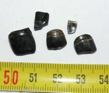 lot de 5 dents fossiles de Sargue des Faluns ( 002 )