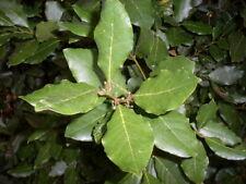 feuilles laurier sauce