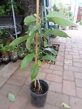 Ngọc Lan Vang - Golden Champaca Magnolia champaca - 3 Feet Tall