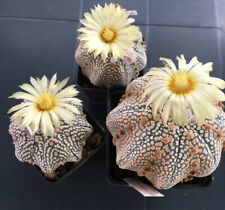 Astrophytum Superkabuto Starshape Japan , 15 Semi 2020 , Seeds