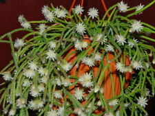Rhipsalis Pilocarpa * Very Rare * Hanging Cacti * Vulnerable Cactus * 10 Seeds