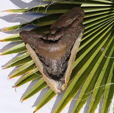 Tiburón diente fossil 325 g tiburón 15,0 x 11,5 cm megalodon 845 teeth Tooth haizahn