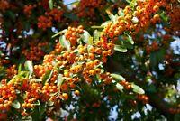150 Semillas de Espino de fuego (Pyracantha Angustifolia)