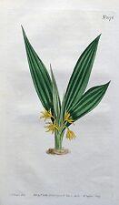 CURCULIGO ORCHIOIDES XIAN MAO  Curtis Original Antique Botanical Print  1808