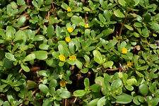 Portulaca oleracea seeds , common purslane, 100 seeds