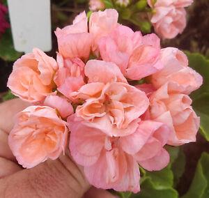 Edwards Christina Zonal Pelargonium x 1 Plant ---------- Geranium
