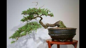Japanese Cedar Bonsai (Cryptomeria japonica) Viable Seeds - UK Stock -