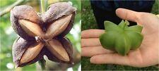 10 Seeds Sacha Inchi,Mountain Peanut,Plukenetia Volubilis,Thai Genuine Original