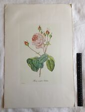 """P.J. Redoute Pinx. Hand-Colored Etching Rosa Centifolia Bullate 16"""" X 23"""""""